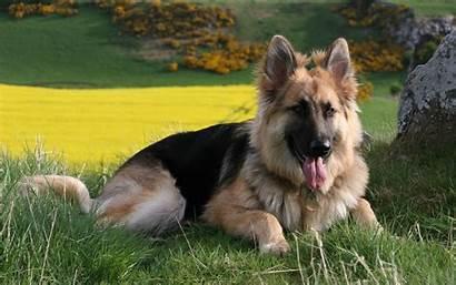 Dog Shepherd German Wallpapers Gsd Cutest
