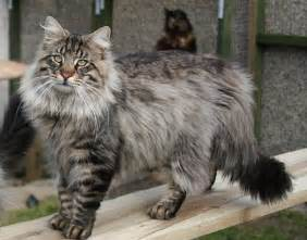 haired domestic cat 10 haired cat breeds
