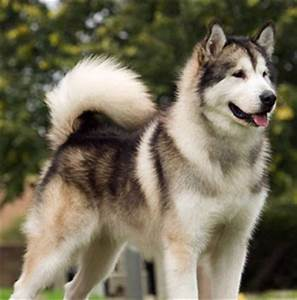 Find out more about the Tamaskan Dog at Dogable.net