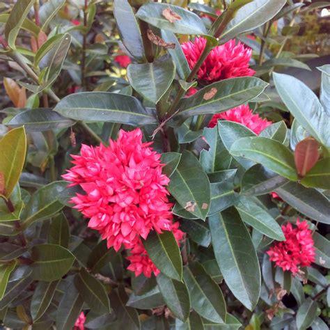 bibit bunga asoka soka india merah elevenia