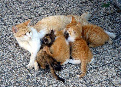 ciclu la pisici