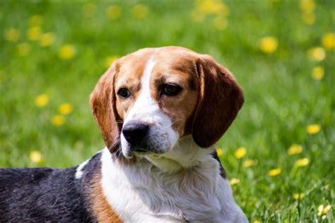 do pocket beagles shed do beagles shed canna pet 174