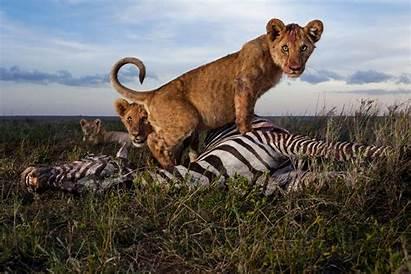 Lion Lions Amazing Animals Geographic National Close