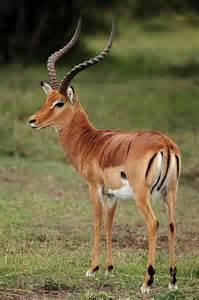 Impala Animal