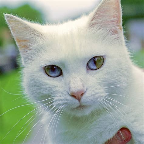 eyes cat different heterochromia colors inside universe whole credits unknown