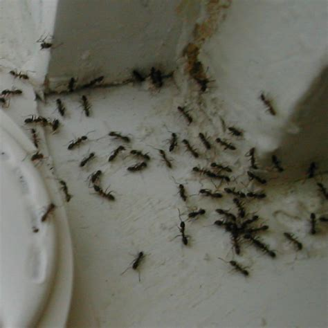 tiny ants in kitchen around sink ant control west covina california versa tech pest