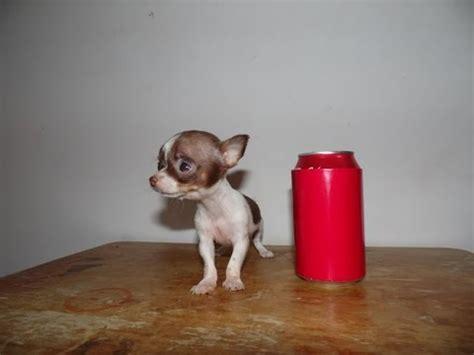 miniture teacup chihuahua - 28 images - mini chihuahua chihuahua