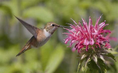 plants that hummingbirds plants that attract hummingbirds landsburg landscape nursery
