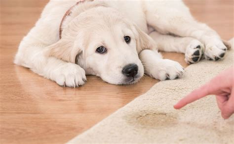 3 Ways To Remove Pet Urine From Carpet Wikihow  Autos Post