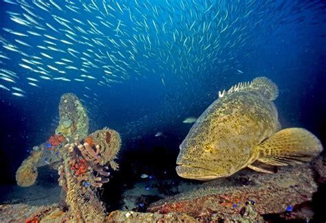 goliath grouper sea creatures underwater gulf mexico endangered species fish most marine ocean jewfish under visit whales killer cuttlefish