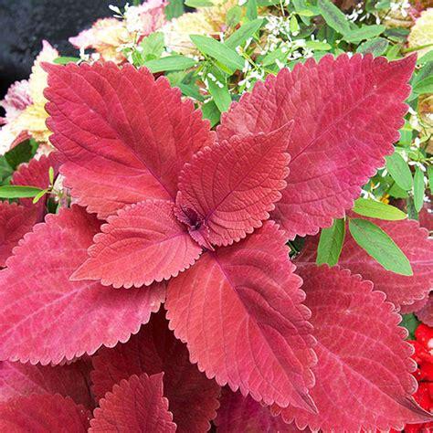 Coleus, Sunloving With Solid Leaf Color