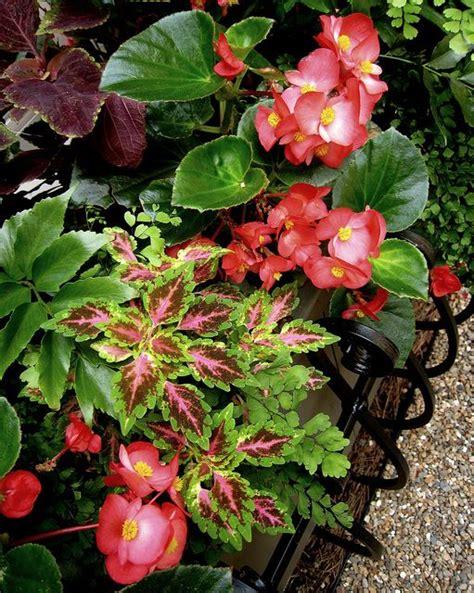 begonias outdoors coleus begonias maidenhair fern holly fern container gardens pinterest maidenhair fern