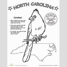 North Carolina State Bird  Coloring Page Educationcom