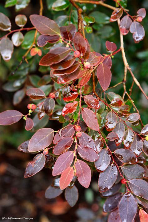 breynia cernua synbreynia sp iron range red coffee