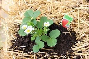 Erdbeeren Wann Pflanzen : erdbeeren pflanzen auf stroh ~ Watch28wear.com Haus und Dekorationen