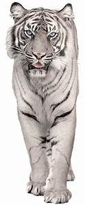 White Tiger PNG Picture Clipart | Gallery Yopriceville ...