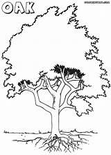 Oak Coloring Oak4 Colorings sketch template