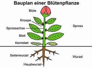 Aufbau Einer Blume : ist eine fleischfressende pflanze vom aufbau so wie von einer normalen pflanze biologie ~ Whattoseeinmadrid.com Haus und Dekorationen
