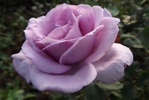 Mainzer Fastnacht Rose : rose 39 mainzer fastnacht 39 39 blue girl 39 39 blue moon 39 39 sissy ~ Orissabook.com Haus und Dekorationen