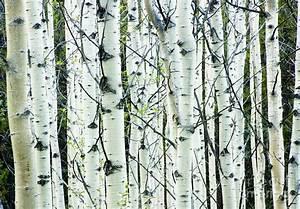 White Birch Tree Forest Photograph by Oscar Gutierrez