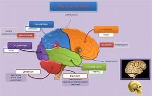 History Of Brain Development