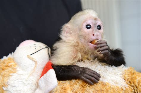 pet monkey why justin bieber shouldn t have a monkey
