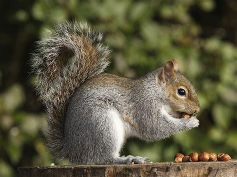 tree squirrels facts behavior information