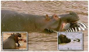 Hippo eating zebra   HIS is the terrifying moment a hippopot      Hippopotamus Eating People