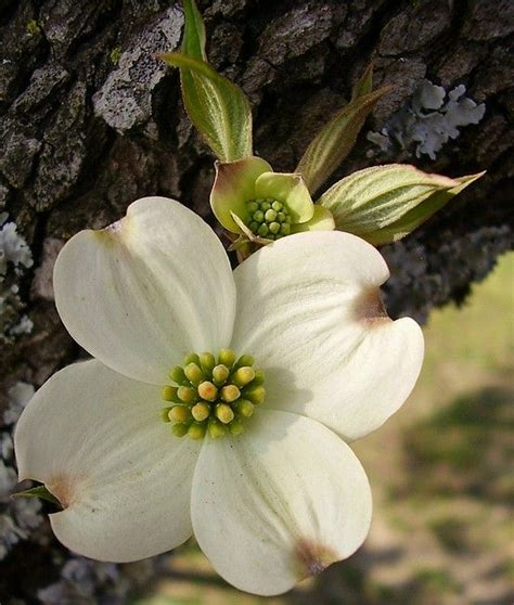 dogwood tree blooms 25 best ideas about dogwood flowers on pinterest pink dogwood unique flowers and beautiful
