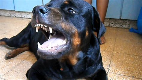 angry rottweiler youtube