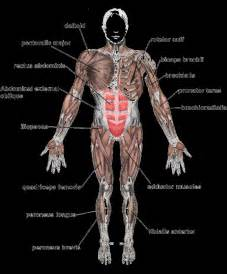 Anterior Human Body Diagram