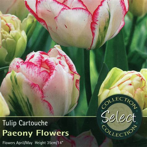 bulbs tulip cartouche bulbs for sale mail order