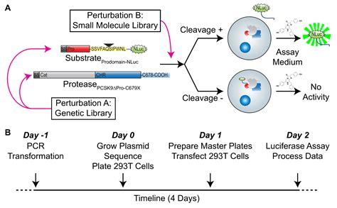 A High-Throughput Luciferase Assay to Evaluate Proteolysis ...