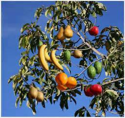 amazing and interesting facts fruit salad tree a tree which can grow a variety of different
