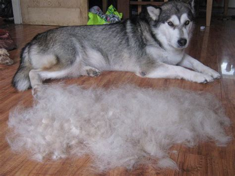 Do Akita Dogs Shed Hair by Do Alaskan Malamutes Shed By Digiphotography On Deviantart