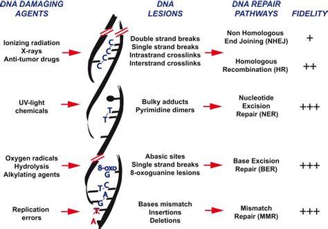 Mechanisms Behind Dna Repair