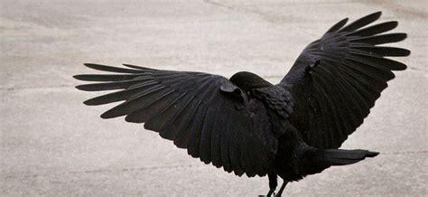 450 Best Crows & Birds Anatomy