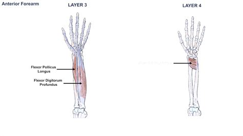 Forearm pain from muscle or tendon injuries can be quite debilitating. Anatomy of the Forearm - Muscles and Tendons - Lesson 1 ...