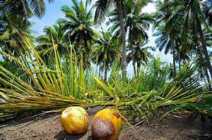Coconut trees all around! - Picture of Coconut Garden ...