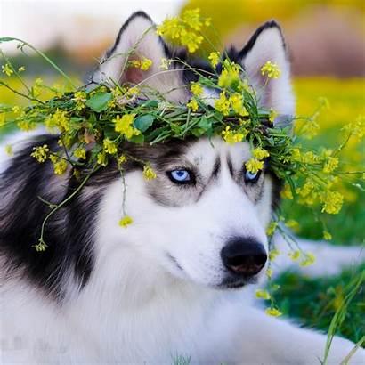Husky Siberian Dog Hotmen Retina Ipad 4k