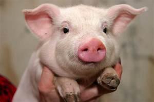 Diagram Pig