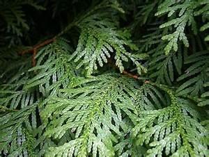 Lorbeer Gelbe Blätter : lebensbaum steckbrief ~ Markanthonyermac.com Haus und Dekorationen