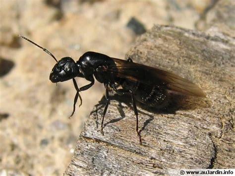 l essaimage des fourmis