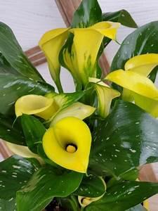 Calla Gelbe Blätter : gelbe calla jetzt bestellen blumenversand edelwei ~ A.2002-acura-tl-radio.info Haus und Dekorationen