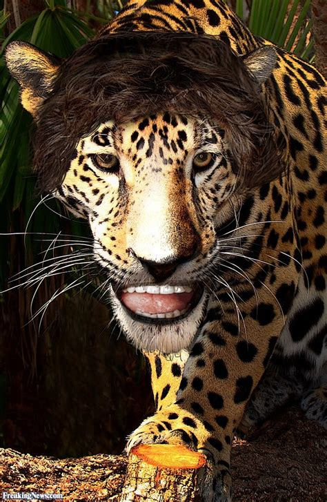 Jaguar Picture by Jaguar Pictures Freaking News