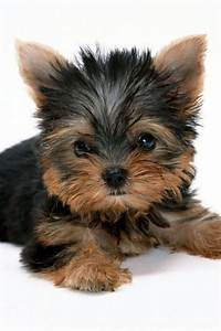 Yorkie Girl Dog Names | cute yorkie names images, yorkie ...