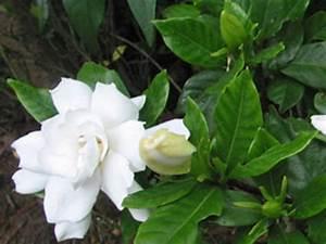 Fleur De Lys Plante : gardenia gardenia jasminoide rempotage entretien au ~ Melissatoandfro.com Idées de Décoration
