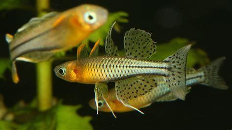 pseudomugil gertrudae geflecktes blauauge