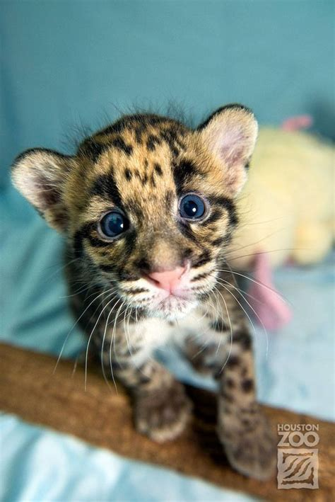 clouded leopard cubs show mad skills zooborns