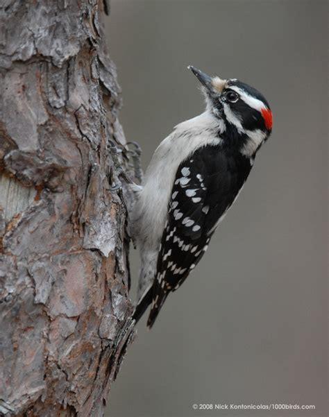 woodpecker animal wildlife